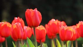 红色郁金香芽 免版税库存图片