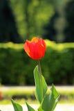 红色郁金香芽 库存照片