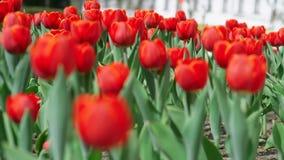 红色郁金香草坪开花的花 股票视频