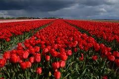 红色郁金香领域和黑暗的天空 库存照片