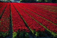 红色郁金香领域在日落的荷兰 免版税库存照片