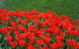 红色郁金香领域在荷兰 库存照片