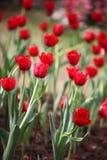 红色郁金香领域 免版税图库摄影