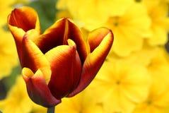 红色郁金香黄色 库存图片