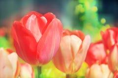 红色郁金香,当一朵花选择聚焦,反对浅绿色的bokeh出于焦点背景 图库摄影