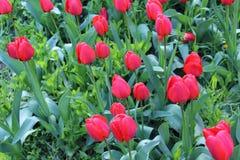 红色郁金香绽放在春天 库存图片