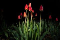 红色郁金香-轻的绘画 免版税库存图片