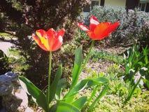 红色郁金香黄色 库存照片