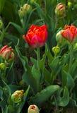 红色郁金香 郁金香 百合的一棵球茎春天开花的植物 免版税库存照片