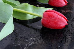 红色郁金香 免版税库存照片
