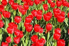 红色郁金香 免版税图库摄影