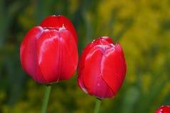 红色郁金香 免版税库存图片