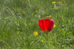 红色郁金香 库存图片