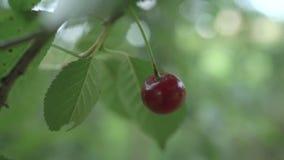 红色酸樱桃树分支用鲜美果子 特写镜头樱桃树分支和果子 t 股票录像