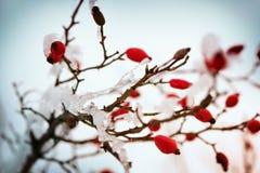 红色野玫瑰果宏观在冬天在寒冷的霜之下 免版税图库摄影