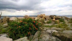 红色野玫瑰果的聪慧的布什在海滩的 布什用红色果子、石头和水在距离 库存照片