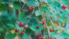 红色野生森林莓果在灌木在风关闭增长在夏天并且摇摆  影视素材