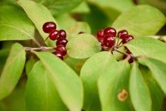 绯红色野生莓果 免版税库存图片