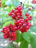 红色野生莓果 免版税库存照片