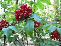 红色野生莓果 库存照片