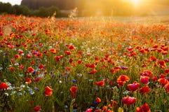 红色野生鸦片在日落的,惊人的背景pho草甸 免版税图库摄影