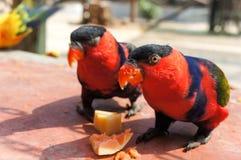 红色金刚鹦鹉鸟 免版税库存图片
