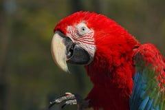 红色金刚鹦鹉 免版税库存图片