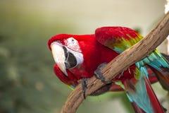 红色金刚鹦鹉 免版税库存照片
