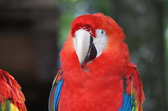 红色金刚鹦鹉 库存照片