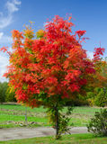 红色金合欢结构树 免版税库存图片