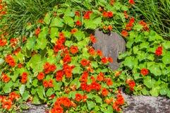 红色金莲花花在庭院里 免版税库存图片