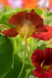 红色金莲花 库存图片