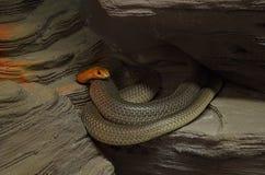 红色钩形的蛇(rhamphiophis rubropunctatus) 库存图片