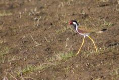 红色钩形的鸟 免版税库存照片