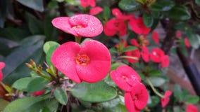红色铁海棠 接近的露水小滴放牧叶子早晨理想的水 免版税图库摄影