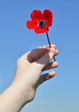 红色银莲花属在儿童的手上 免版税库存照片