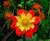 红色银莲花属花在庭院里 库存照片