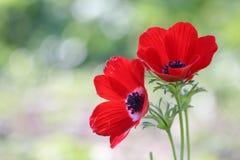 红色银莲花属 图库摄影
