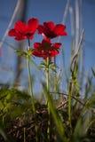红色银莲花属 免版税图库摄影