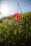 红色银莲花属 库存图片