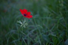 红色银莲花属 库存照片