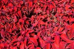 红色锦紫苏,紫色锦紫苏庭院设计 免版税库存图片