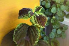 红色锦紫苏植物 免版税图库摄影
