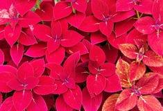 红色锦紫苏 图库摄影