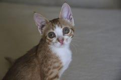 红色镶边小猫 免版税库存照片
