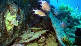 红色镶边鱼学校在食物礁石查寻的  影视素材