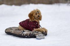红色长卷毛狗在冬天 图库摄影