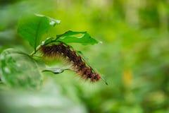 红色长毛的毛虫爬行在叶子下 选择聚焦 免版税库存照片