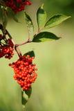红色长辈或接骨木浆果(接骨木花) 库存照片