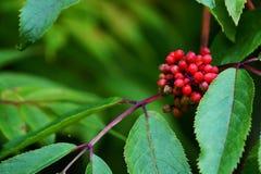 红色长辈或接骨木浆果(接骨木花) 免版税库存照片